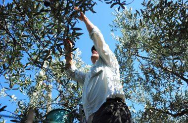 Olio di oliva di qualità nelle Marche